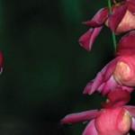 Mashpi Lodge Orchid