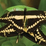 Mashpi Lodge Swallowtail Butterfly