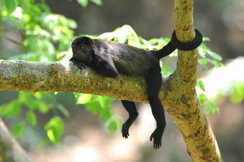 Costa Rica - Howler Monkey July newsletter